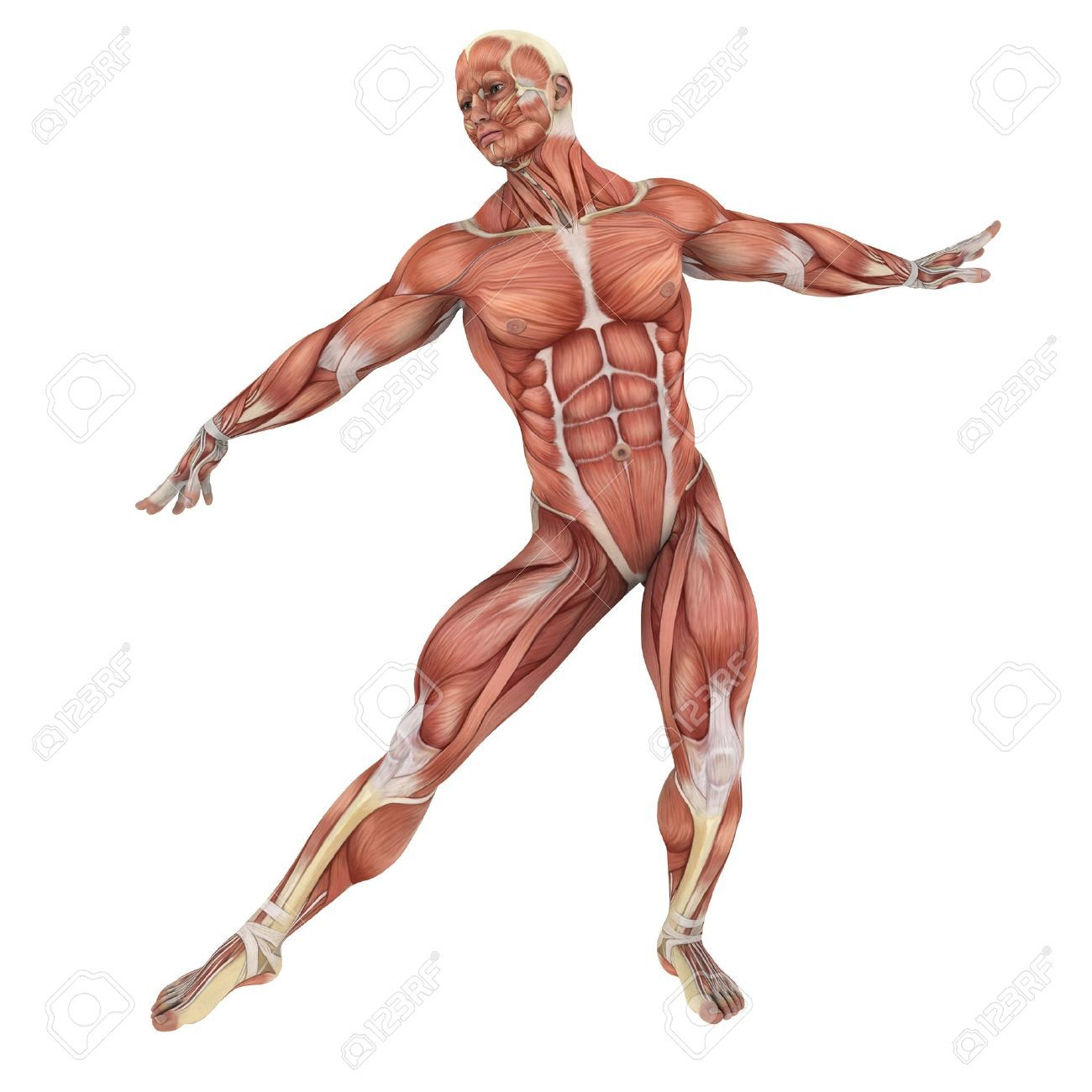 10874095-male-lay-figure-Stock-Photo-anatomy-muscle.jpg (JPEG-Grafik ...