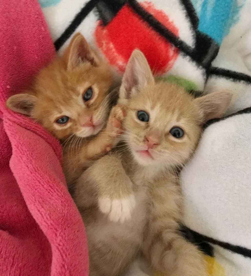 Macaroni And Cheese Kittens Baby Cats Kitten Rescue