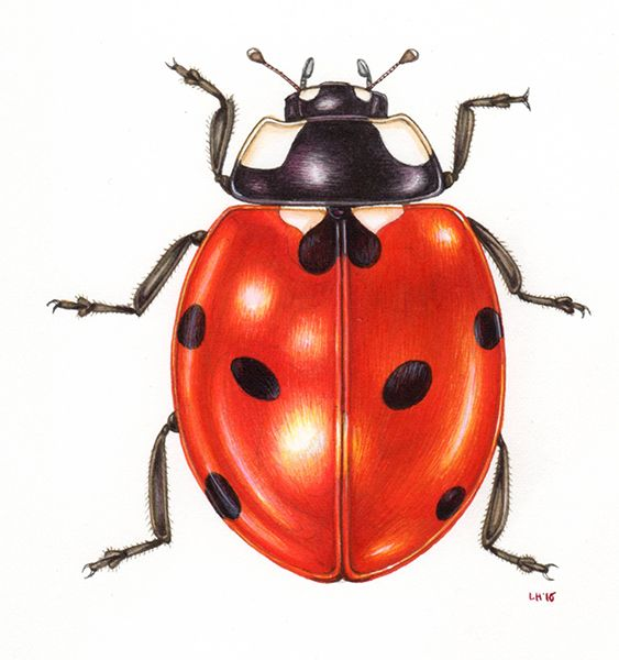 Lizzie Harper Natural history natural science botanical illustration sciart illustrator step by step how to draw a ladybird ladybug coleoptera insect illustration watercolour painting #history