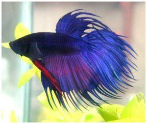 Pink Betta Fish | clown tail betta male female betta half moon betta peaceful betta 2 ...