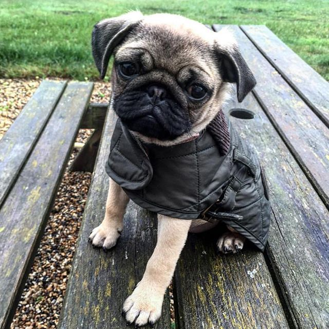Barbarathepugpup Looks Ready To Brave The Winter Chill In Her