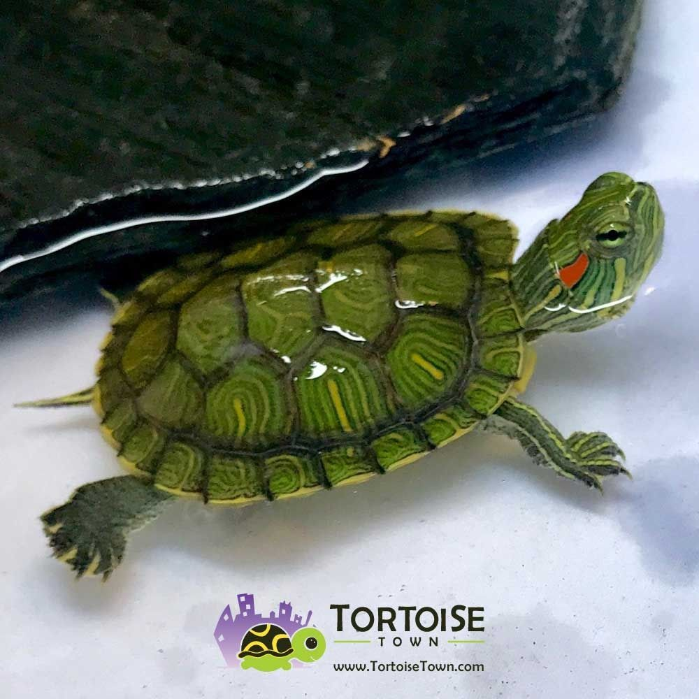 Red Eared Slider Turtle For Sale Online Baby Red Ear Slider Turtles For Sale Online Slider Turtle Red Eared Slider Turtle Turtles For Sale,Bleeding Heart Flower Tattoo Meaning