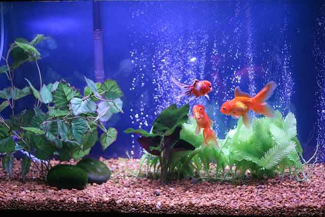 золотые рыбки в аквариуме | Золотая рыбка, Аквариум