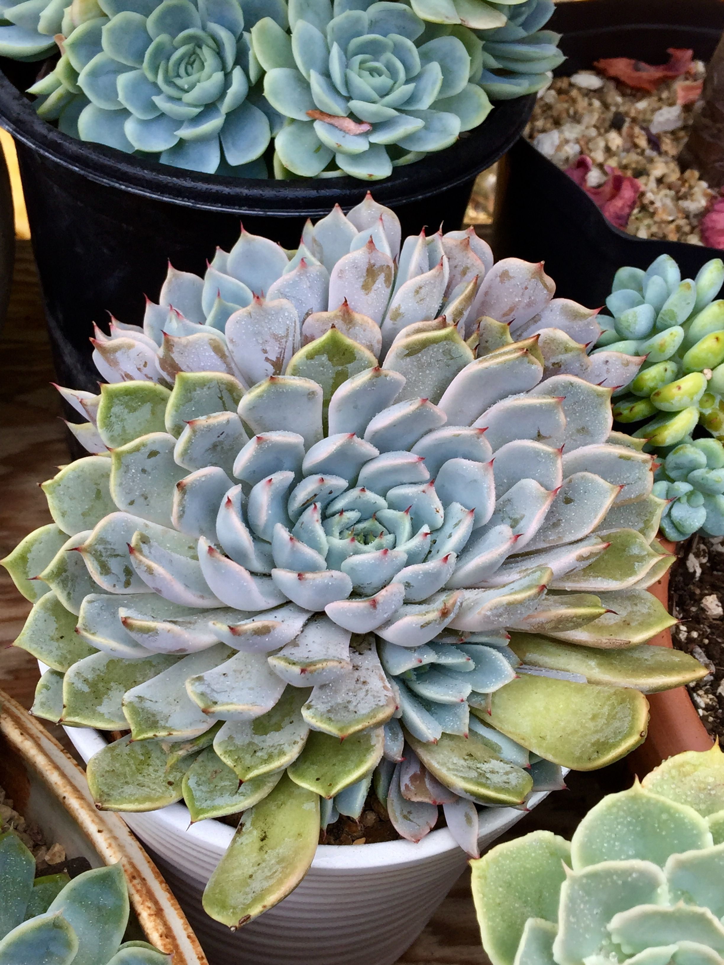 Pin by Joyce Lee on tea garden Tea garden, Succulents