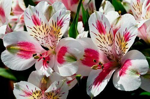 Alstroemeria Www Theflowerexchange Com Alstroemeria Add Color For Your Event Party Planners Event Planne Alstroemeria Flower Pictures Garden Flower Beds