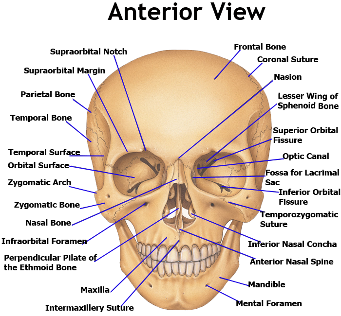 bones of the human skull - anterior view | anatomy & physiology, Human Body