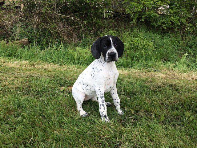 Kc Reg English Pointer For Sale In Brighton East Sussex Preloved English Pointer Puppy English Pointer Dog English Pointer