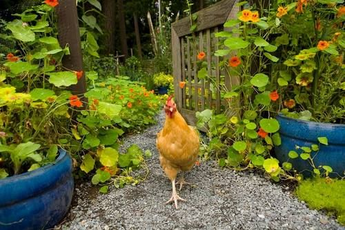 a905202eee27f6eeb7011e74c40d7a3d - Free Range Chicken Gardens Jessi Bloom