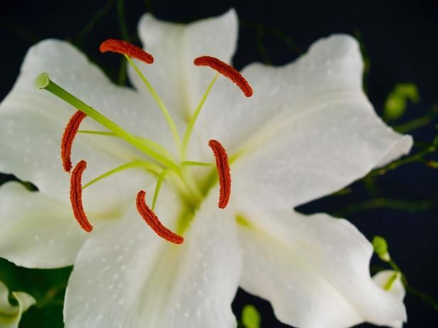 This oriental hybrid is known for its intense fragrance and night this oriental hybrid is known for its intense fragrance and night blooming flowers its large white flowers are a favorite for weddings and will brighten up mightylinksfo
