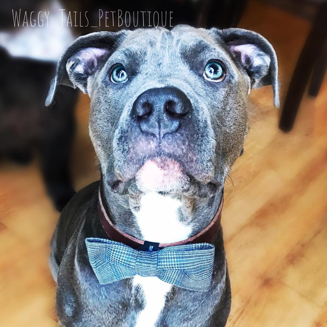 Here is another #BowTie modeled by my crazy dog @remy_the_destroyer I must say this is one of my favorite  I hope you like it as much as I do  Again swipe left to see all the pictures  Ill post a few more soon   Bow Ties & Bandanas are available for sale through DM with Paypal  Feel Free to Message Me with ANY Questions You may have! - Sizes and Prices (USD)  - Bandanas   - Mini: fits neck size 6 - 8  $7.95  - Small: fits neck size 9 - 11  $8.95  - Medium: fits neck size 12 - 14  $12.95  - Large