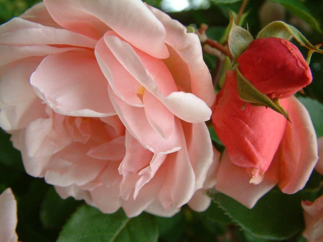Albertine   Old Garden Roses   Rose Catalog   Tasman Bay Roses   Buy Roses  Online