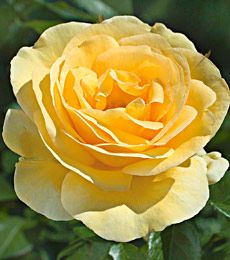 ~ Sunshine Daydream - 2012 Award Winner of the All-American Rose Selections ~