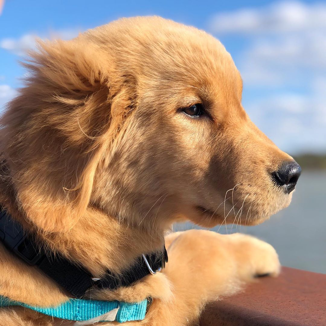 Sailor On Instagram Trying To Find The Weekend Like Goldengirlsailor Goldens Goldenretrieverlover Cute Cats And Dogs Golden Retriever Golden Dog