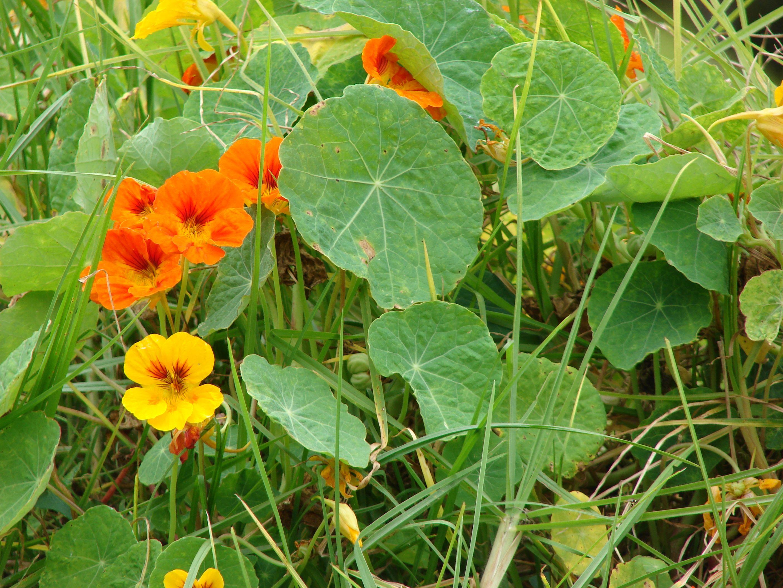 Buy culinary herbs plants nasturtium plants - Tropaeolum Majus Nasturtium Fiesta Blend Morning Gloriesgarden Plantsflower