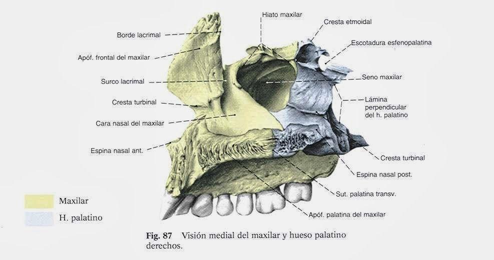 cara lateral interna del maxilar superior | Anatomía de la cara ...