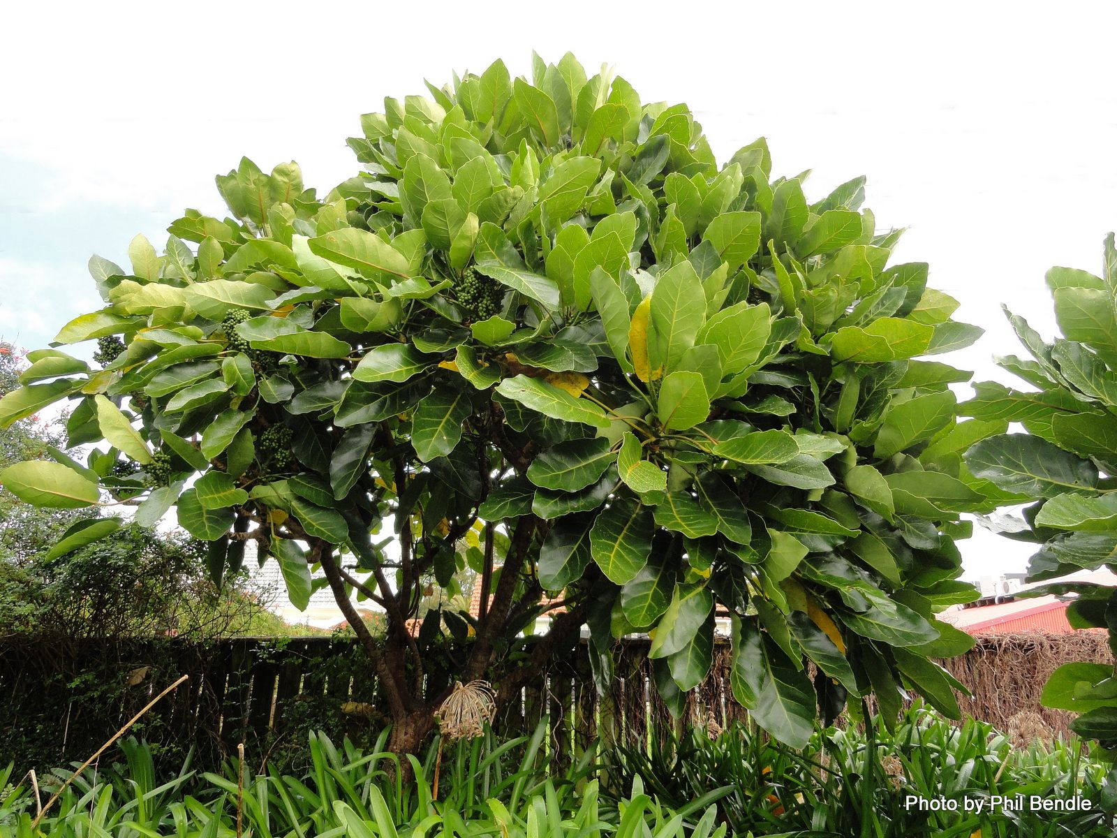 Meryta sinclairii puka evergreen tree native to new for New garden plants