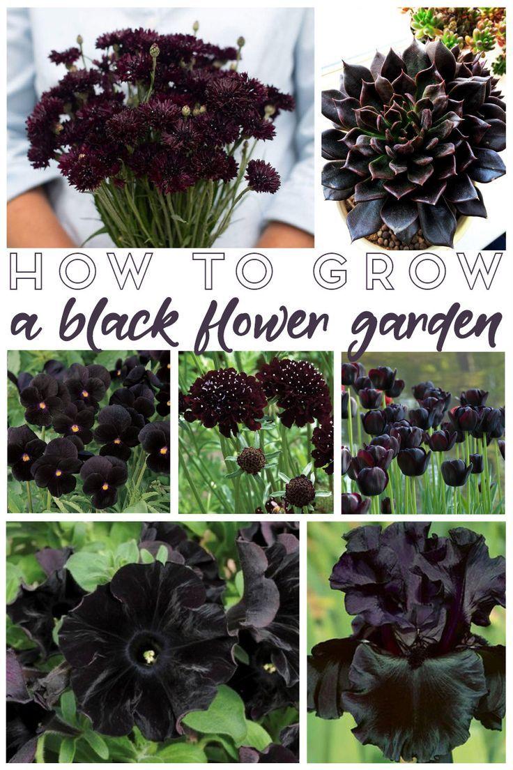 How to Grow a Black Flower Garden – Living La Vida Holoka