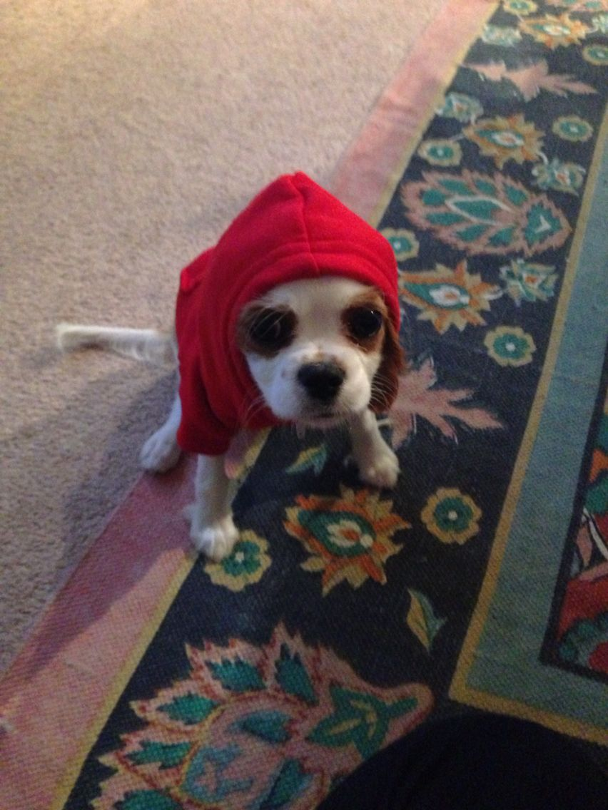 My Little Brandy Girl Cavalier Puppy Cavalier King Charles King Charles Spaniel Cavalier