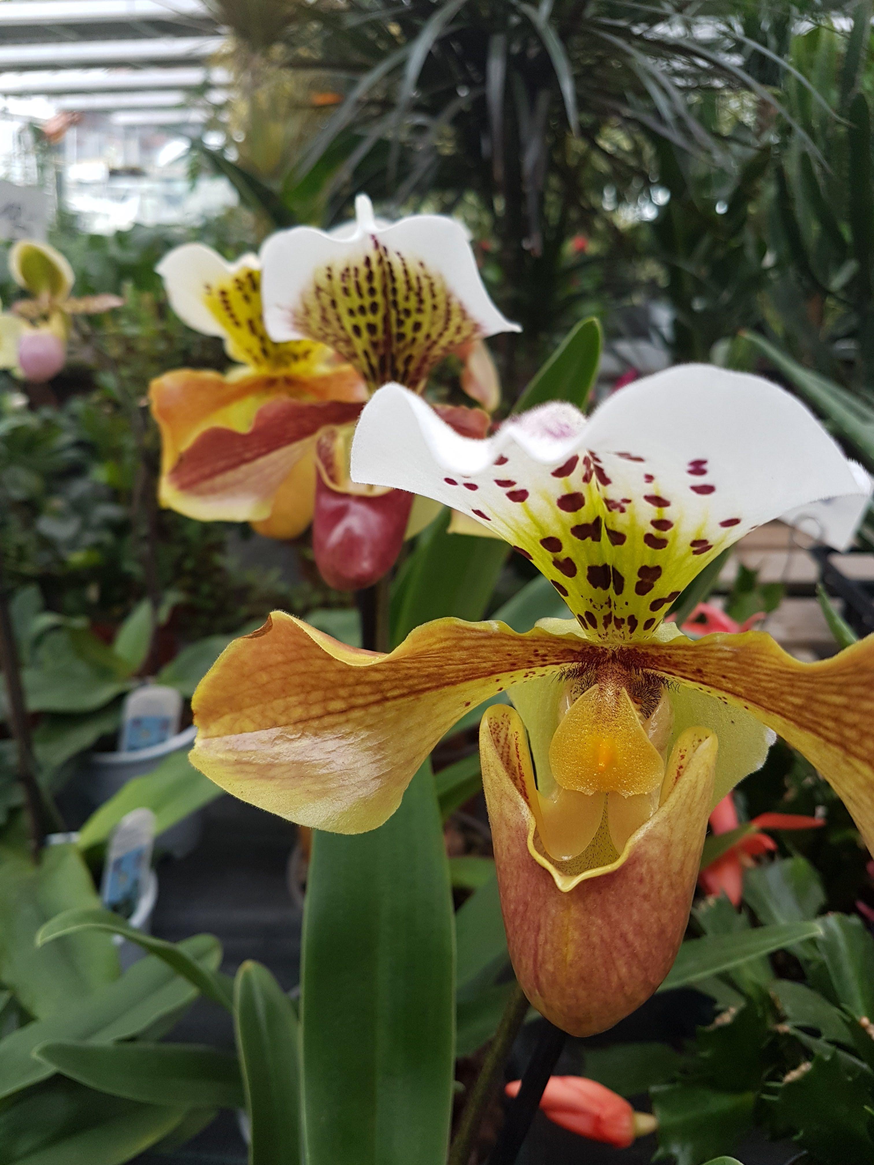 Frauenschuh Orchidee Orchideen Orchideen Frauenschuh Orchidee