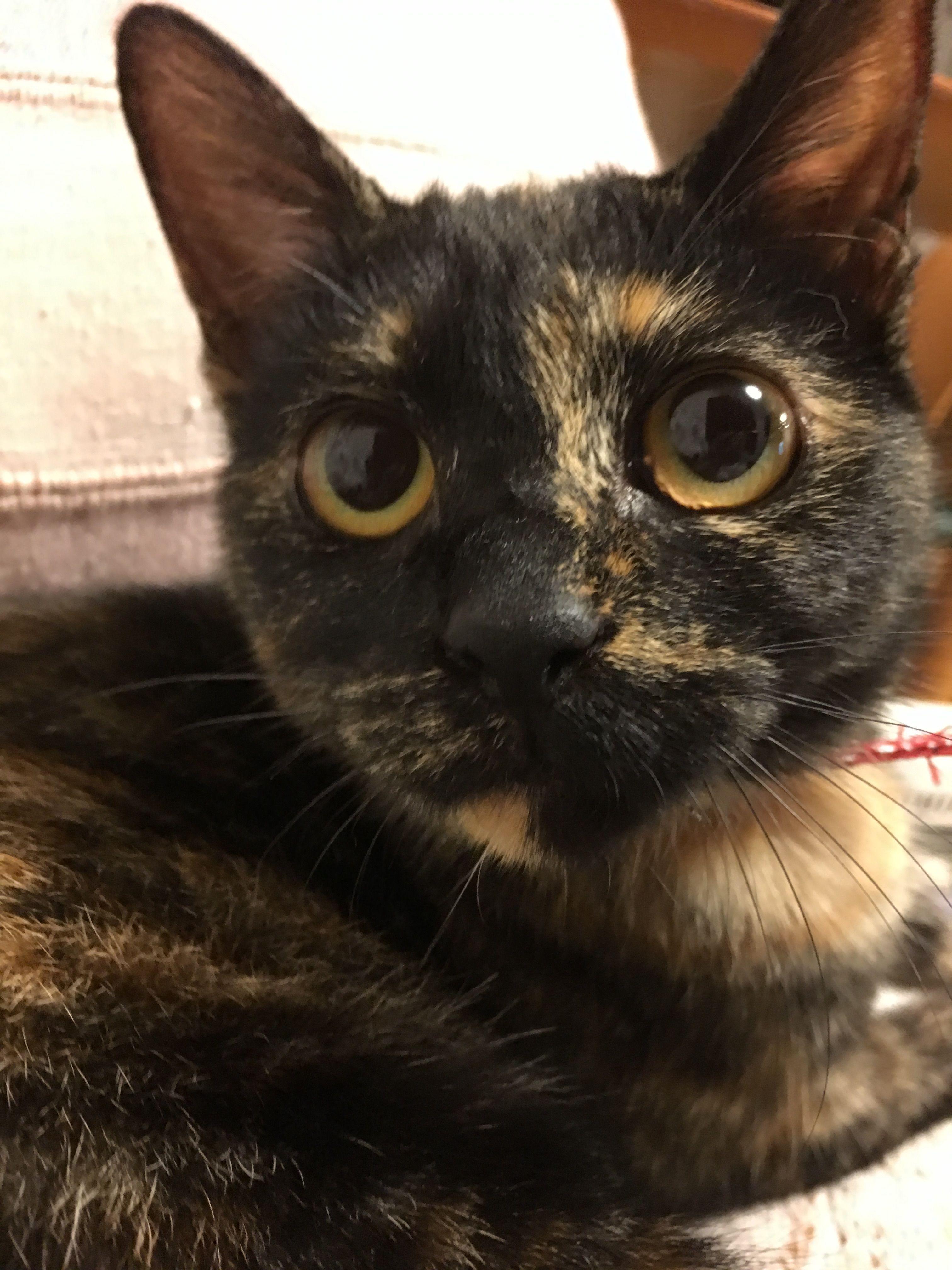 Tortoiseshell cat Wasabi looks SO MUCH like my Smitten