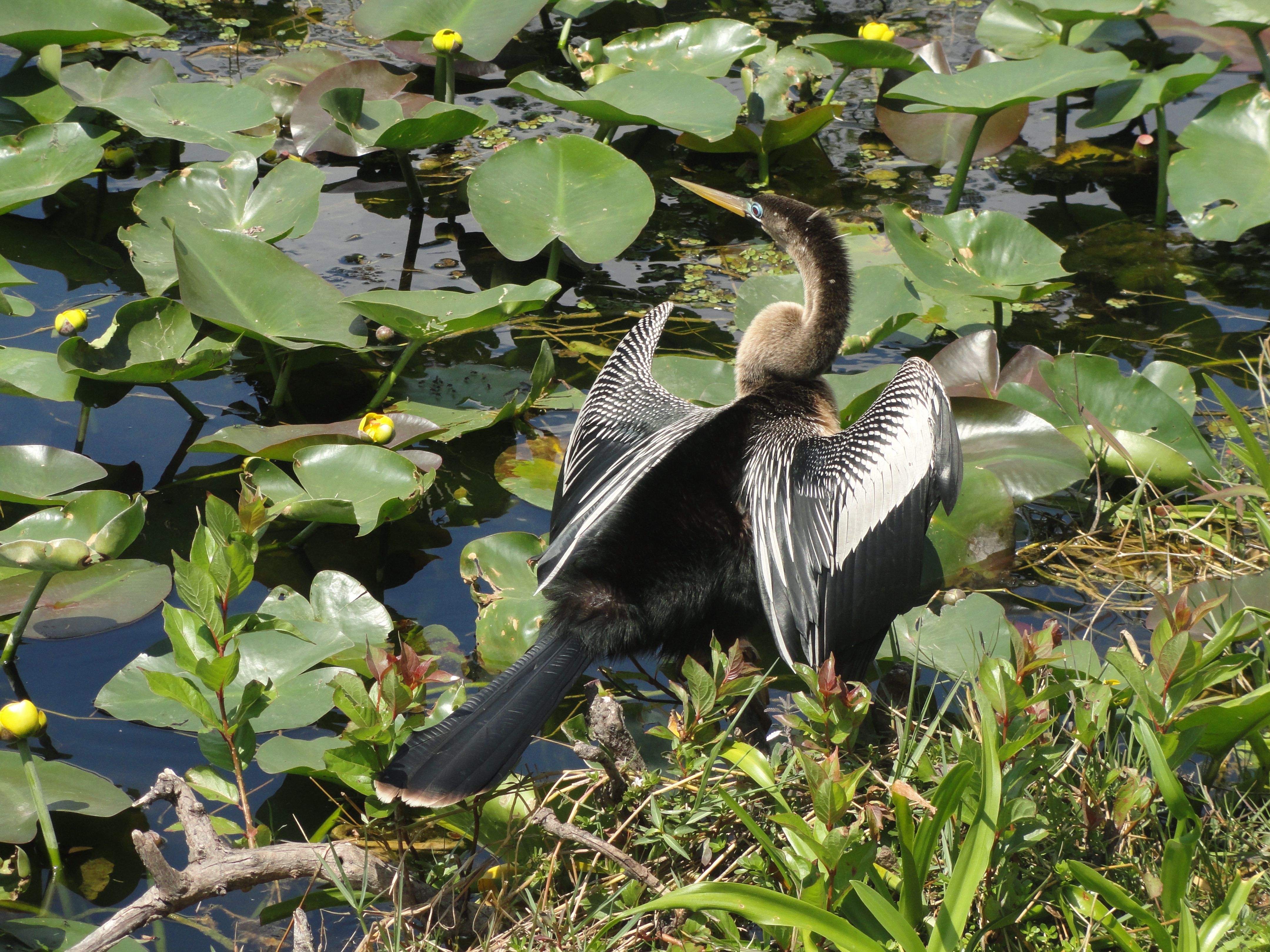 Anhinga drying its wings - Shark Valley