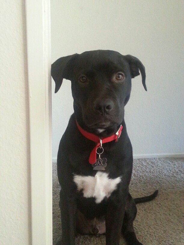 Pitbull Lab Mix This Is My Favorite Puppy Jax 5 Months Old Right Here Lab Mix Puppies Pitbull Lab Mix Pitbull Lab