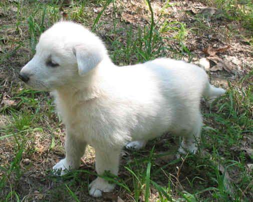Gunther White German Shepherds Whiteshepherdpups Com German Shepard Puppies German Shepherd Puppies Puppies