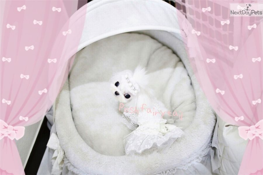 micro maltese Miss Ellena 8000 Home of the Most Exquisite