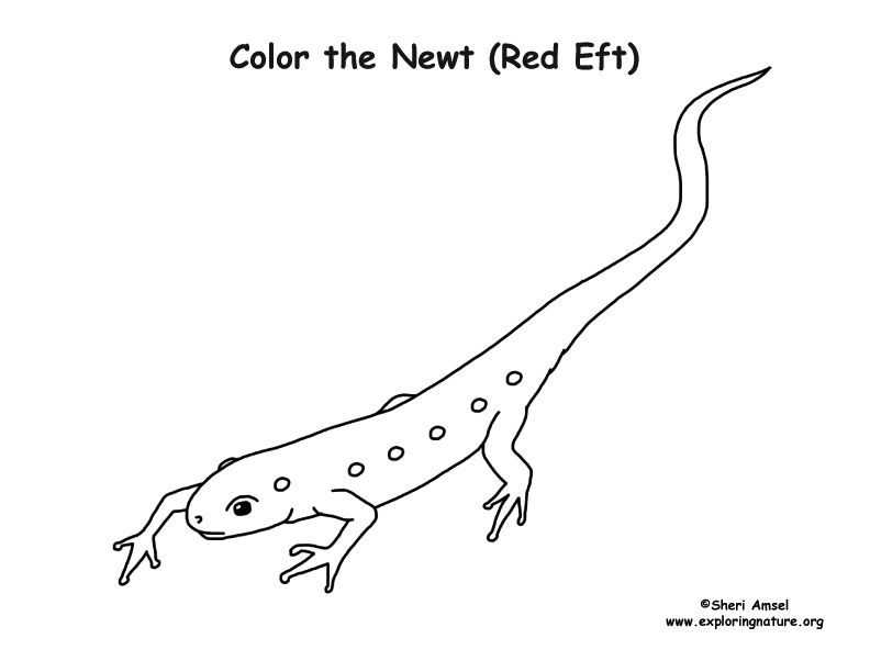 Newt Coloring Page Coloring Pages Color Newt