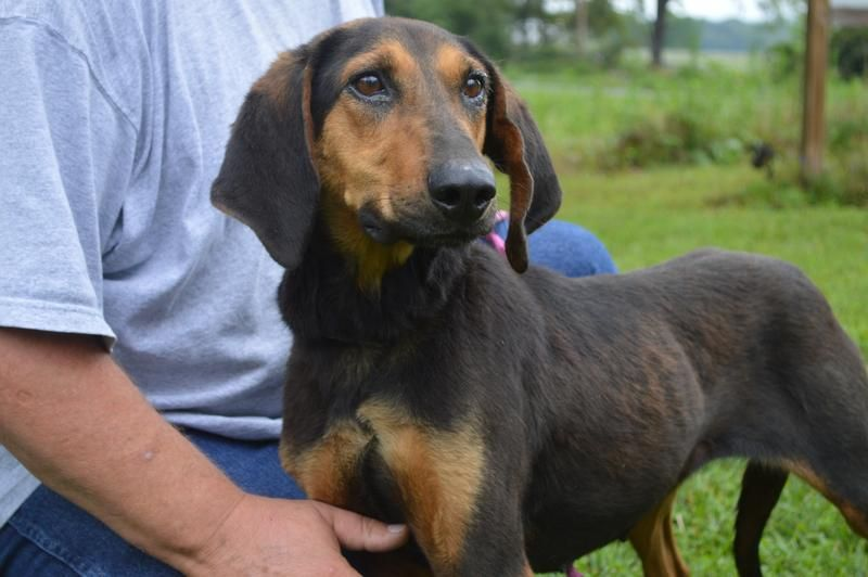 Black & Tan Coonhound F 1 years 57617 named Apple in