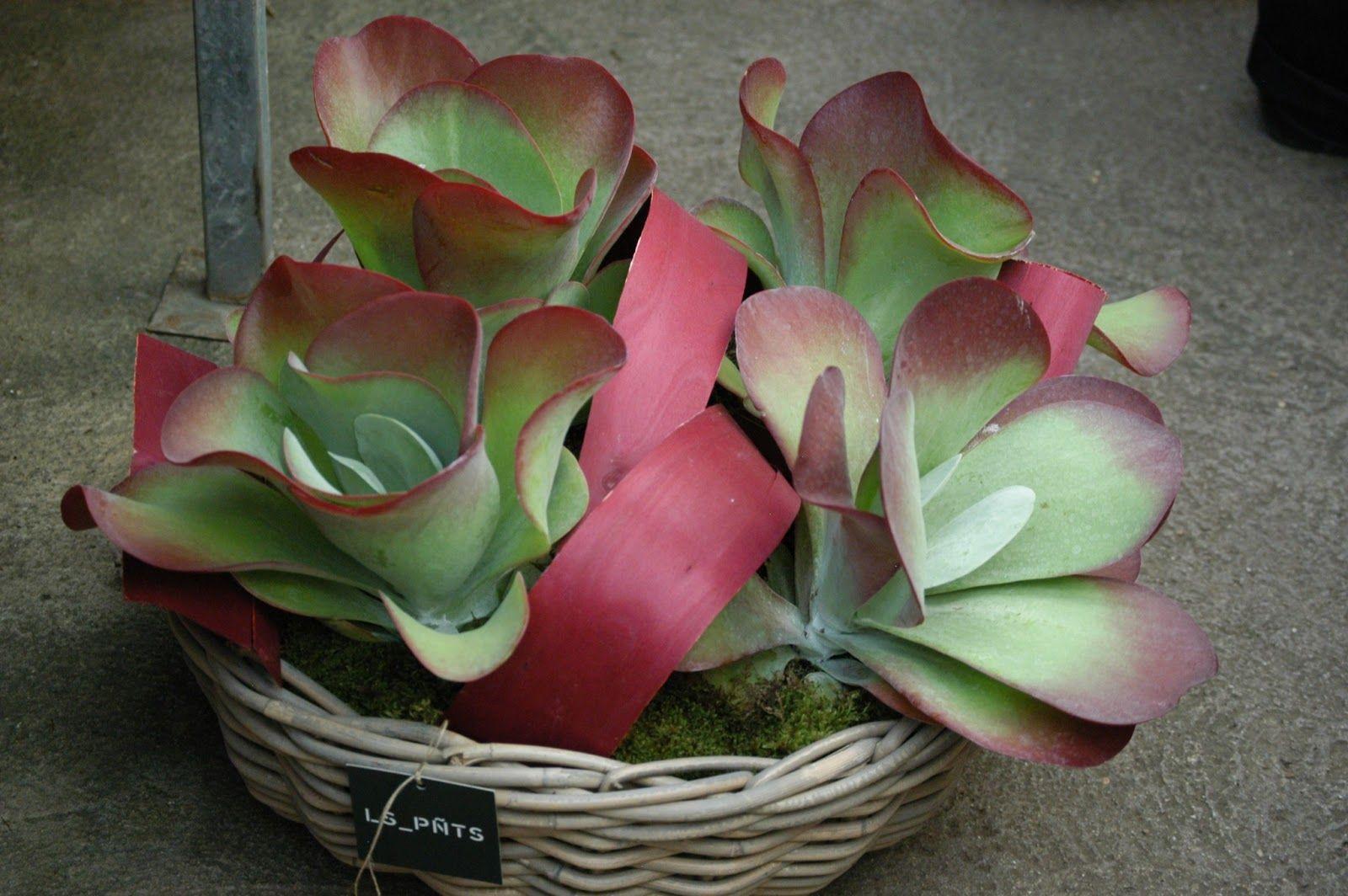 El blog de los pe otes enero 2013 cactus y suculentas - Los penotes decoracion ...