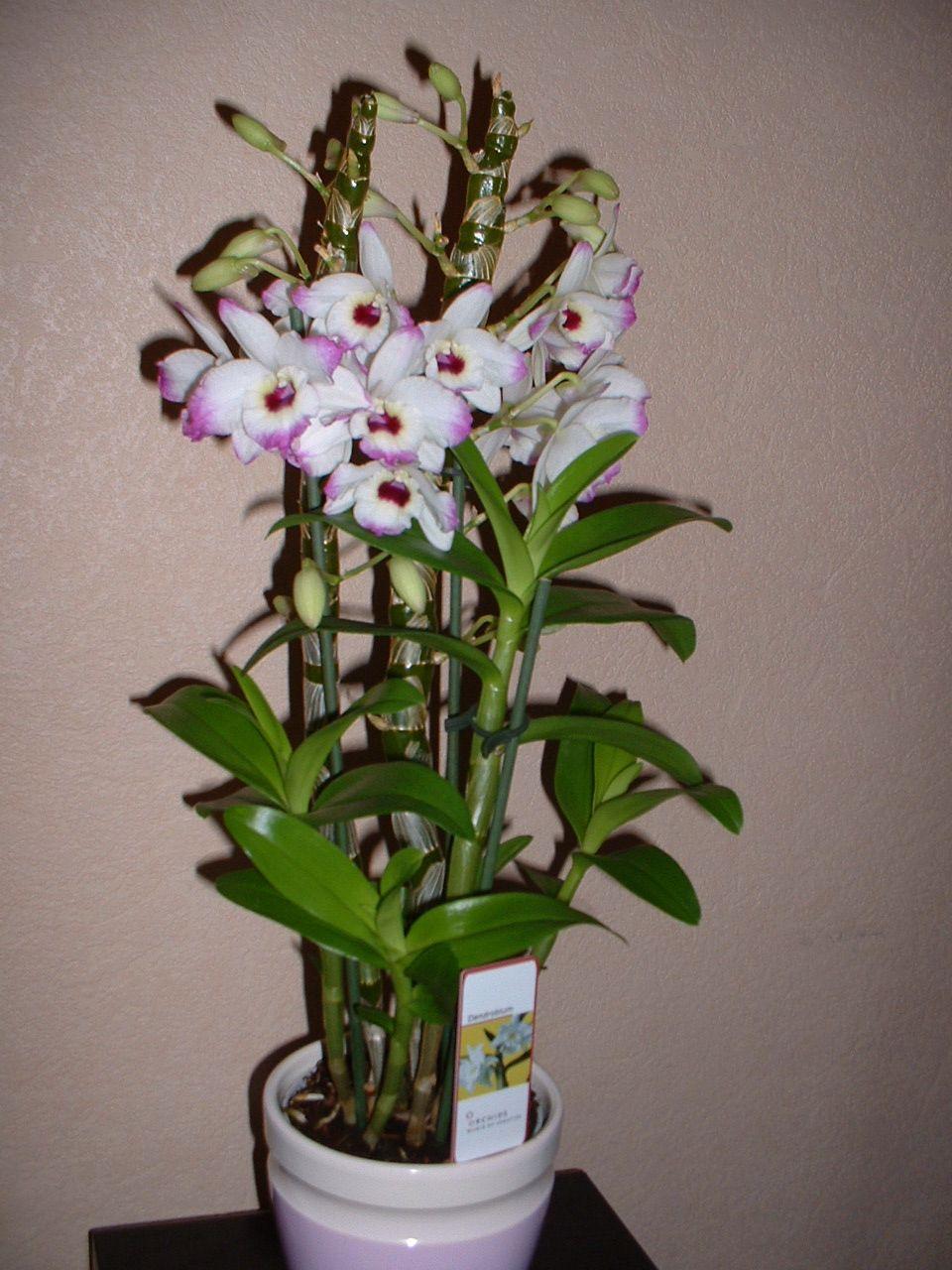 Comment Arroser Dendrobium Transplant D Orchidees Les Etapes De
