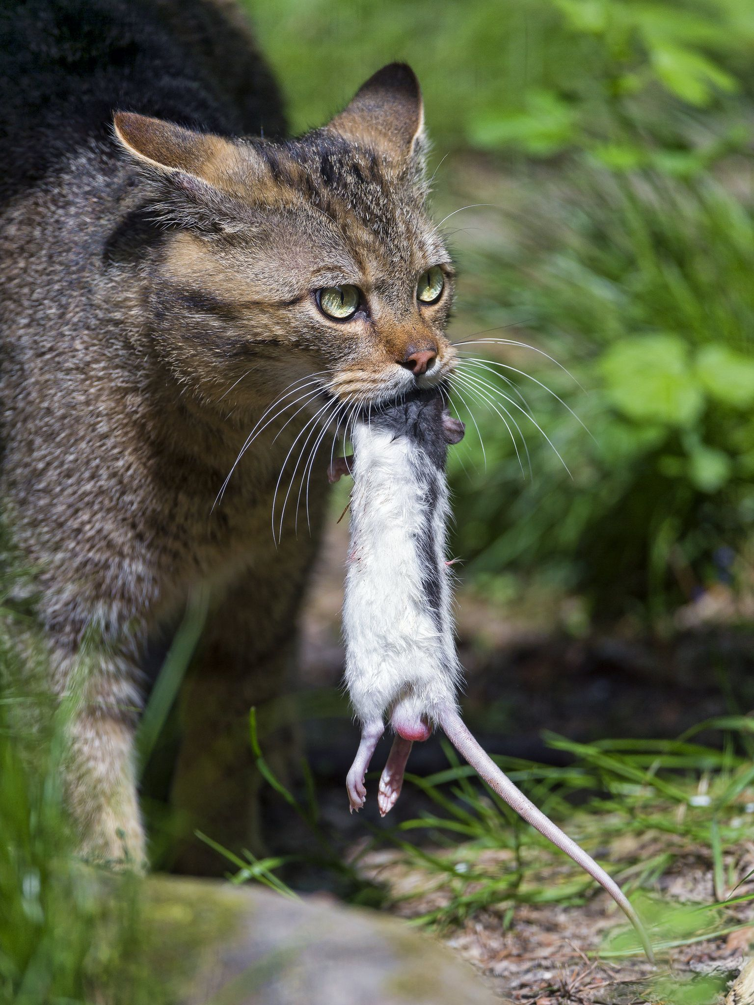 Wild Cat And Rat Wild Cats Cats Small Wild Cats