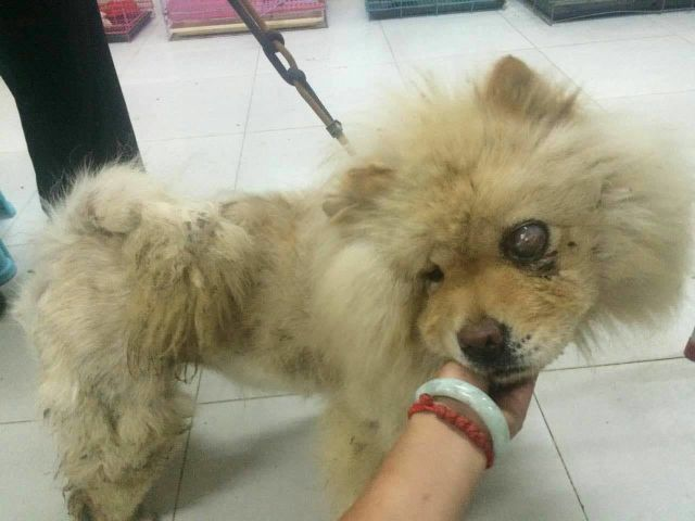 Meet Annabel She Is An Apricot Purebred Chow That Just A Few Months Ago Was On A Truck Bound Slaughter In Nbsp Northern China Ther With Images Dogs Rescue Animal Rescue