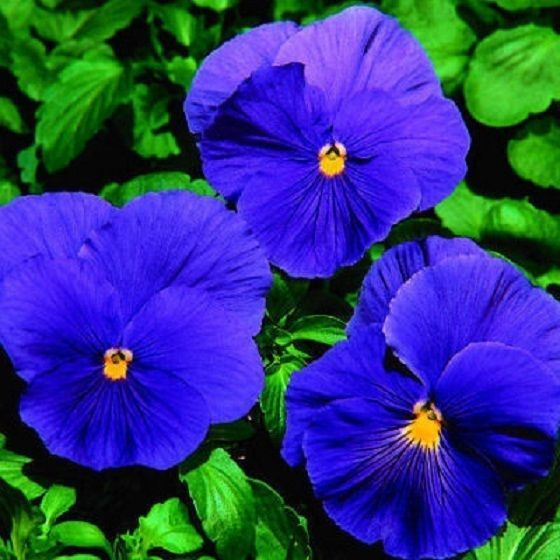 Pansy Learn 2 Grow Pansy Http Www Growplants Org Growing Pansy Pansies Flowers Flower Seeds Pansies