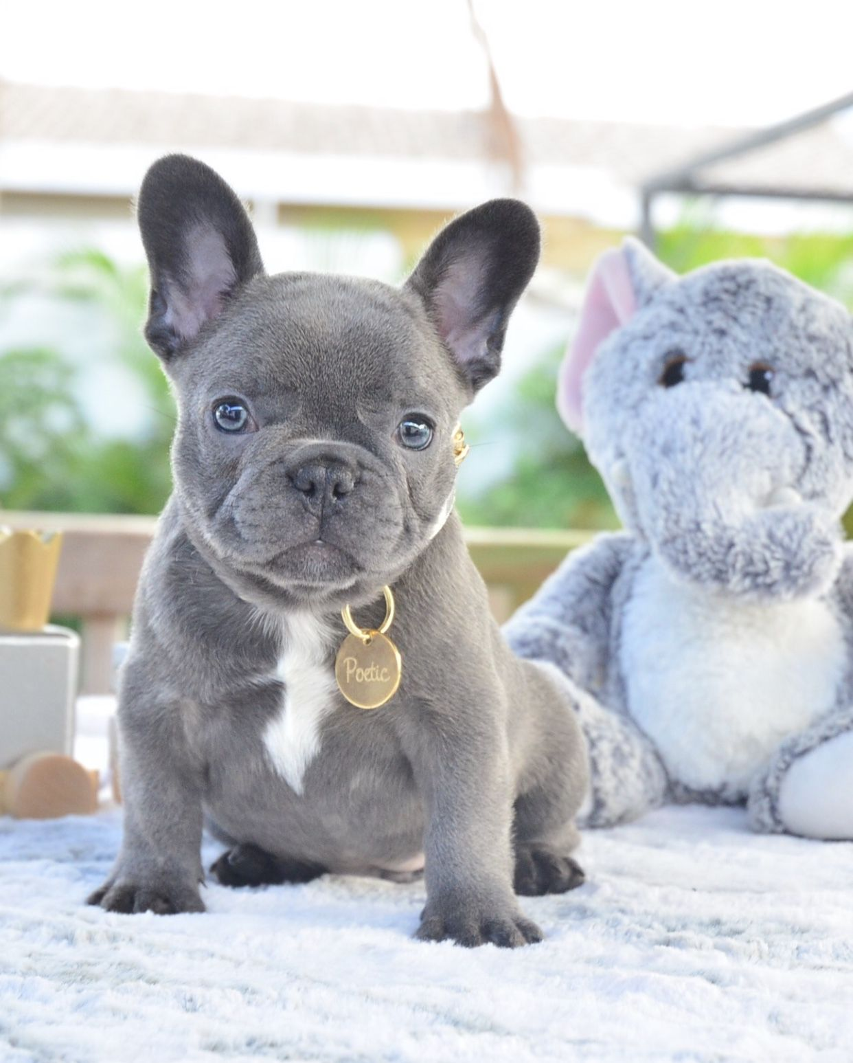Mr Pockets For Those Waiting On A Small Compact Little Blue Male Www Poeticfrenchbulld Bulldog Puppies French Bulldog Puppies Fawn French Bulldog