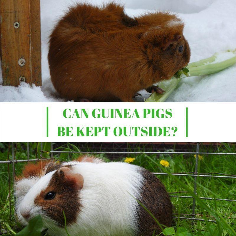 Can Guinea Pigs Be Kept Outside | Guinea Pig Care | Guinea