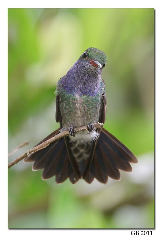 Hummingbirds - Nature Animals Birds Hummingbird SAPPHIRE-SPANGLED EMERALD