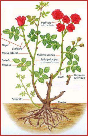 Informe Todo Sobre La Poda De Especies árboles Rosales Arbustos
