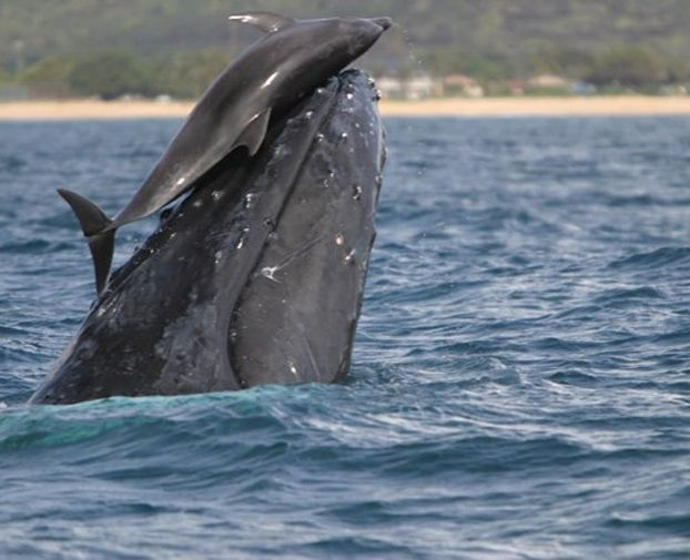 Dolphins Spotted Riding Whales Off The Coast Of Hawaii