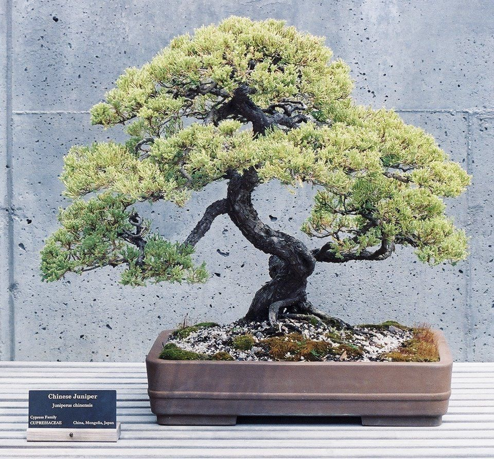 The Chinese Juniper (Chinensis) is easily found in nurseries, garden