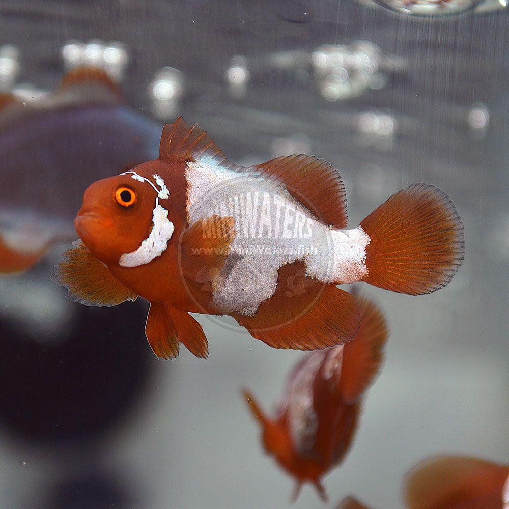 You Can Find Premium Grade Lightning Maroon Clownfish Like This For Sale At Miniwaters Fish Clown Fish Aqua Farm Maroon