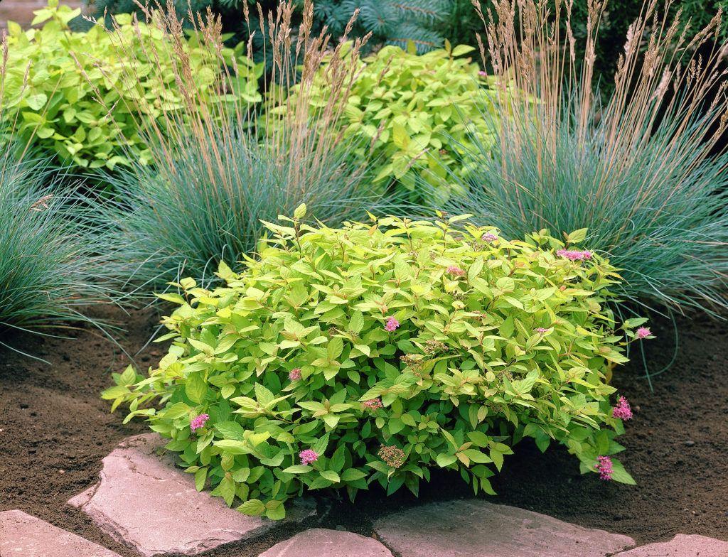 Japanische spir e 39 goldflame 39 spiraea japonica 39 goldflame 39 pflanzen blumen - Japanische gartenpflanzen ...