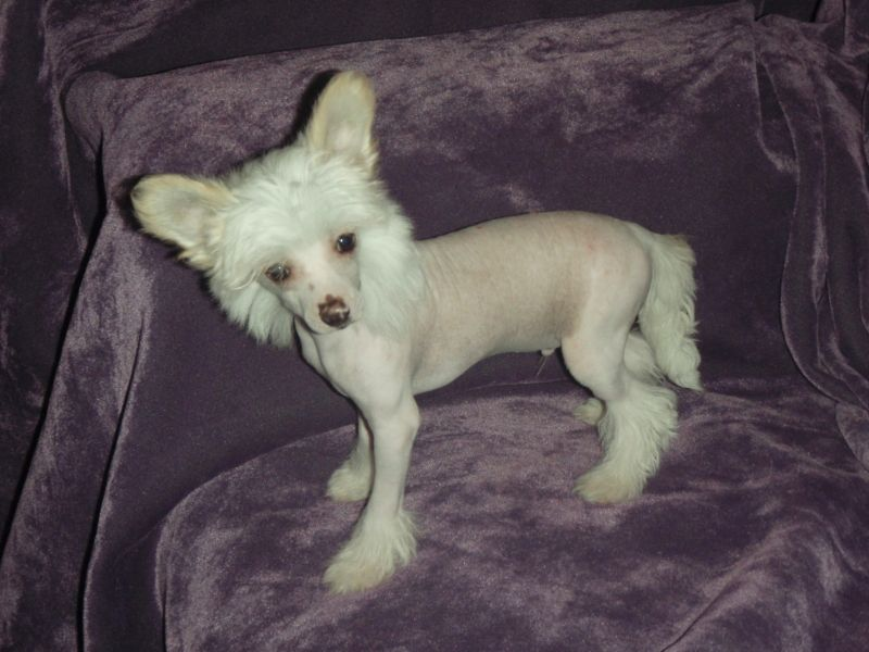 this is actually mowgli 39 s baby picture truth y 39 all chines crested dogs pinterest. Black Bedroom Furniture Sets. Home Design Ideas
