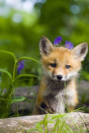 Red Fox Kit in Spring Wildflowers Minnesota Captive Photographic Print at AllPosters.com