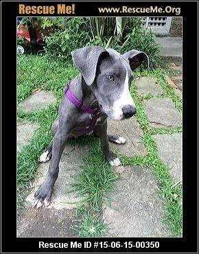 She S So Beautiful Louisiana Great Dane Rescue Adoptions