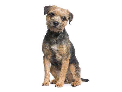 Coat And Colors Of Border Terriers The Coat Is Normally Harsh And