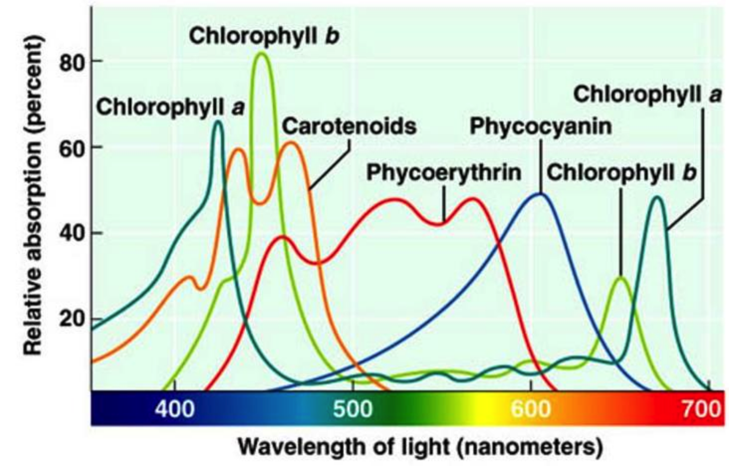 Plant Biology Photosynthesis Chlorophyll Visible Light [ 936 x 1464 Pixel ]