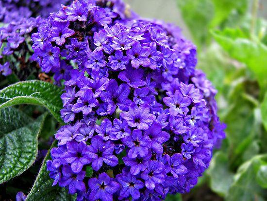 50 Seeds Stunning Violet-Blue Flowers Annual Marine Heliotrope Seeds