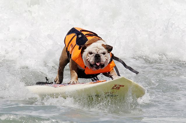 Loew S Surf Dog Competition In San Diego Watched This Guy Surf In The 1011 Pasadena Tournament Of Roses Parade Dog Competitions Animals Animal Lover
